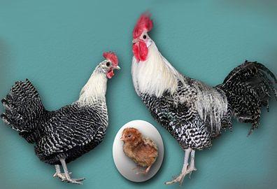 Кури породи голландська белохохлая
