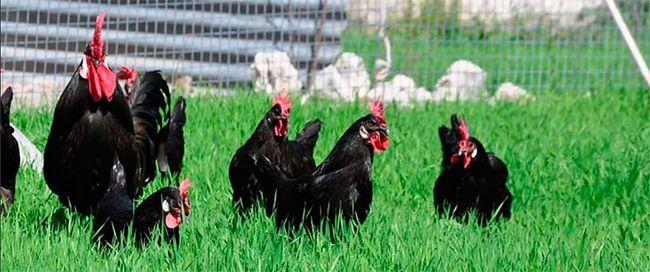 Кури породи кастеллана чорна