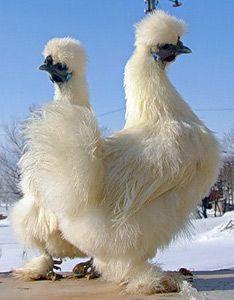Кури породи китайська шовкова