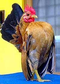 Кури породи малазійська серам