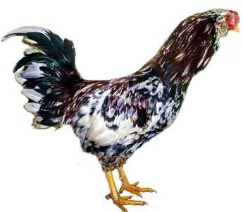 Кури породи орловська