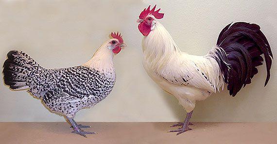 Кури породи остфрізская чайка