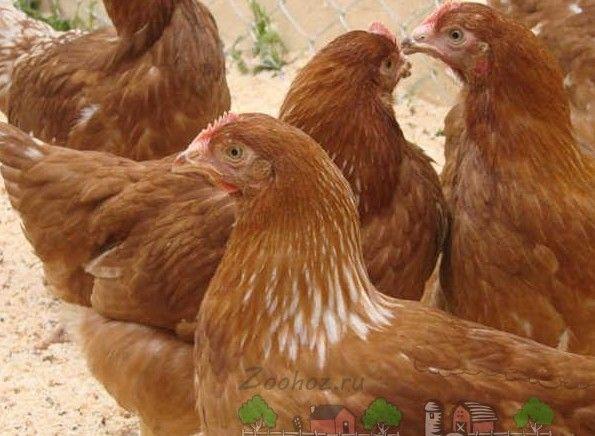 Кури родоніт - сама пристосована порода несучок