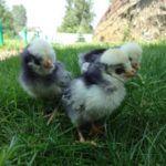 Курчата голландські белохохлие на траві