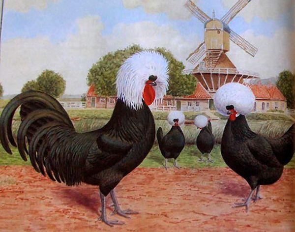 Голландські белохохлие кури на картині
