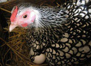 Кури віандот - мініатюрні м`ясо-яєчні улюблениці фермерів