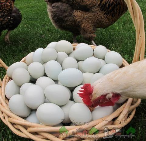 Кури-злодюжки або куди поділися яйця?