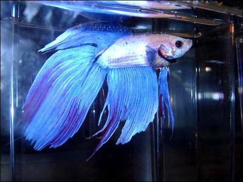 Лабіринтові рибки (labyrithici)