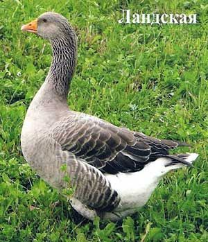 Ландської порода гусей
