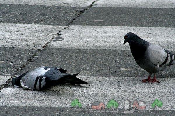 Фото померлого міського голуба