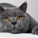 Лікувальні кішки породи