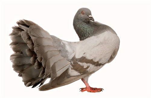 Лікування і профілактика захворювань голубів