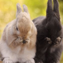 Лікуємо мокрець у кроликів
