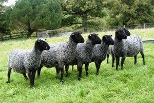 Випас і годування овець