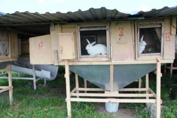 Як успішно займатися кролівництвом
