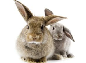 Лікарські властивості і застосування байкоксу для кроликів