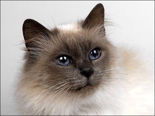 Гімалайський кіт (?). Фото, фотографія картинка