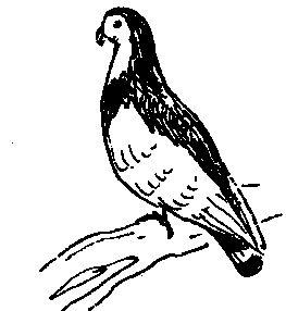 Стрічкові турмани (голуби)