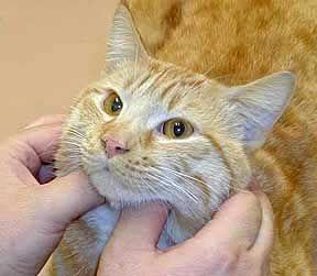 Лімфаденіт, лімфаденопатія і збільшення лімфатичних вузлів у кішок.