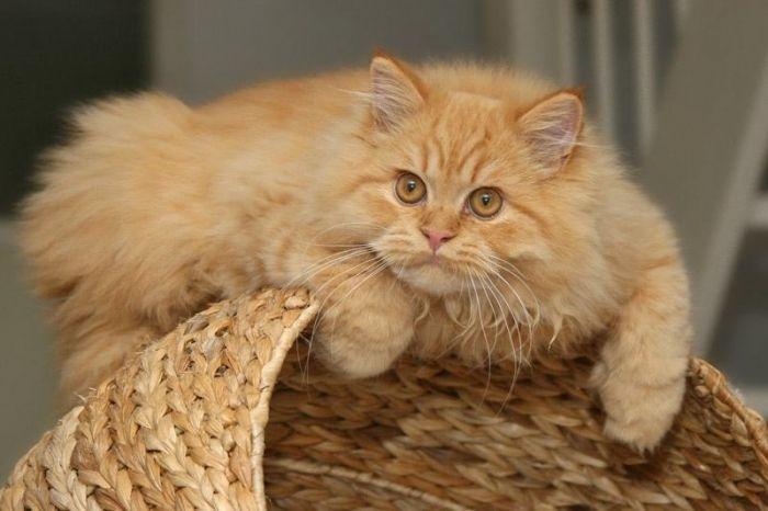 линяє кіт