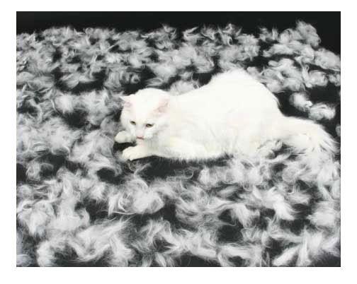 Линька у британських кішок