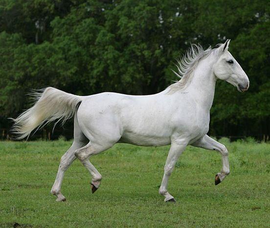 Ліпіціанской порода коней