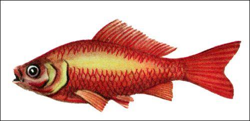Золота рибка (carassius auratus)