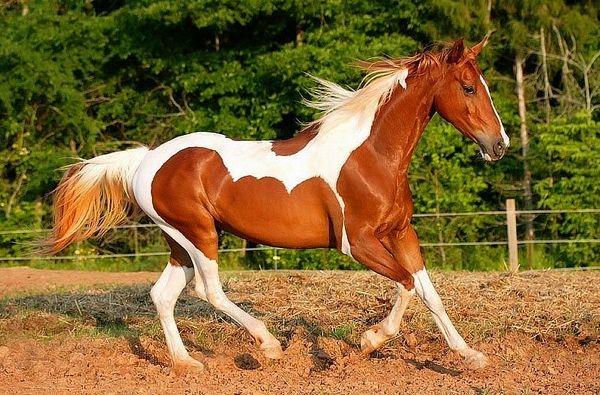 Улюблена американська масть коня ряба