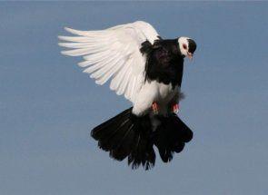 Милуючись польотом - все про льотно-ігрових голубів