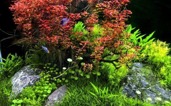 Людвігия - незамінна рослина прісноводного акваріума