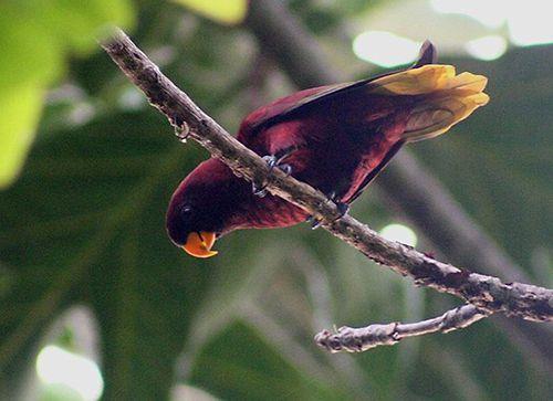 Лорикет вишнево-краснийрод trichoglossus