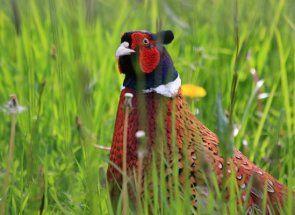Спритність рук: ловимо фазана без рушниці