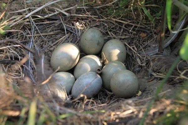 Гніздо фазана з яйцями