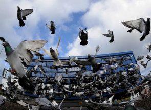 Кращі голуби країн європи