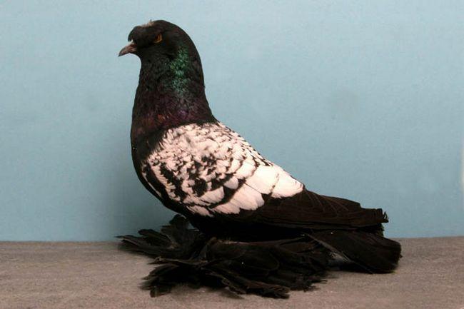 Німецький виставковий голуб в профіль