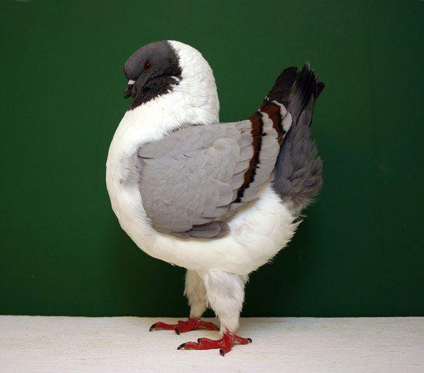 Польський голуб в профіль