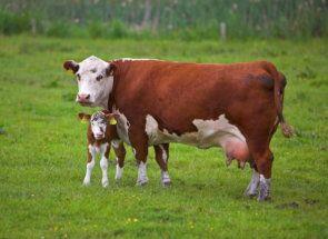 Кращі корови комбінованого напряму