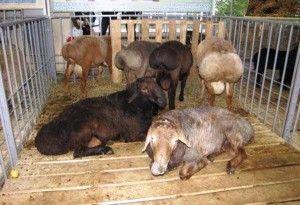 Кращі виробники м`яса і сала - курдючні вівці