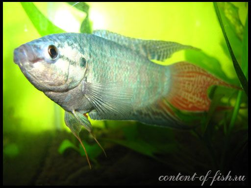 Макропод звичайний, або райська рибка