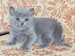 Мальтійська кішка