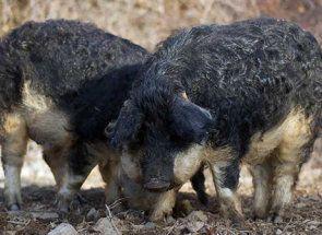 Мангалица - незвичайна свинка з розкішною шевелюрою