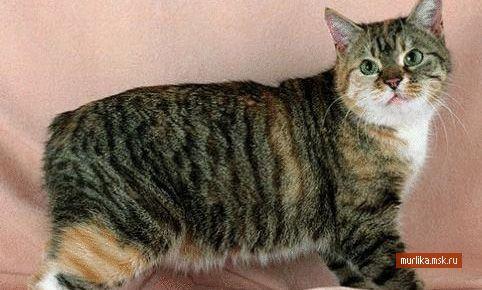 Манкс (Менська безхвоста кішка), манкс порода кішки