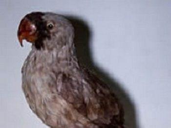 Маскаренский папуга (mascarinus mascarinus)