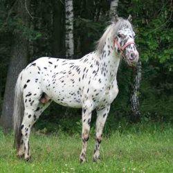 Чубарий кінь в лісі