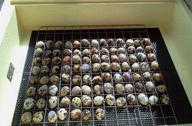 Перепелині яйця в інкубаторі