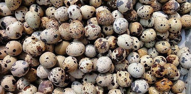 Дуже багато перепелиних яєць
