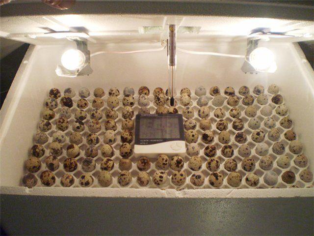 Саморобний інкубатор для перепелиних яєць