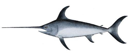 Меч-риба