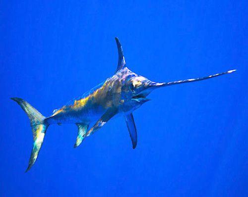Меч-риба пливе на глибині