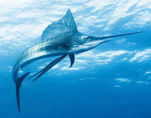 Меч-риба у поверхні води
